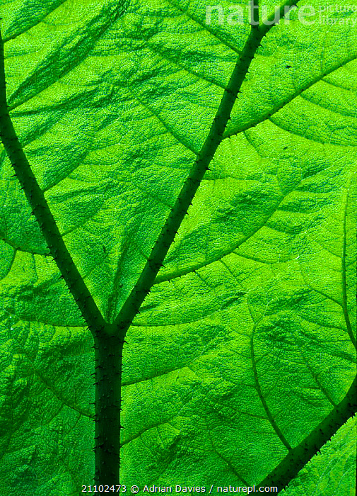 Close-up of Gunnera leaf {Gunnera sp} backlit showing veins, ENGLAND,BRITISH,EUROPE,UK,LEAVES,CLOSE UPS,GREEN,PLANTS,UNITED KINGDOM, Adrian Davies