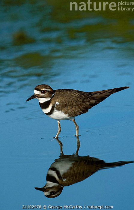 Killdeer plover {Charadrius vociferus} Everglades Florida USA, WADERS,RESERVE,REFLECTIONS,, George McCarthy