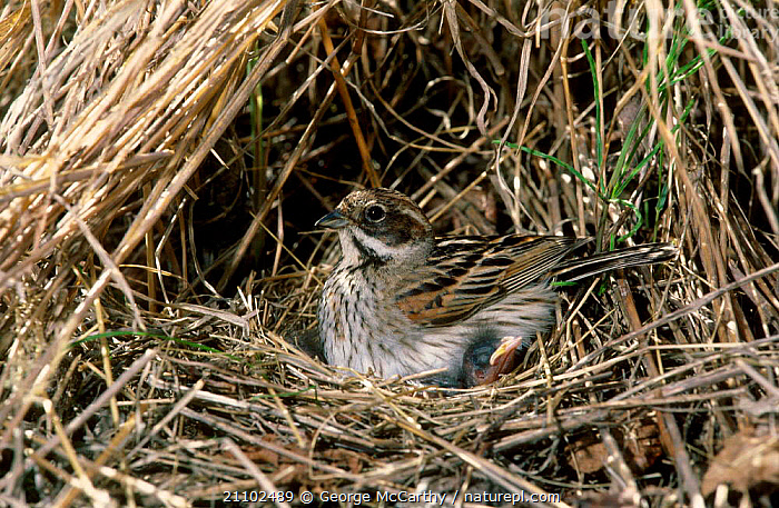 Reed bunting on nest with chick {Emberiza schoeniclus} UK, BUNTINGS,FAMILIES,EUROPE,WILDLIFE,ENGLAND,NESTS,BABIES,BIRDS,BRITISH,PASSERINES, George McCarthy