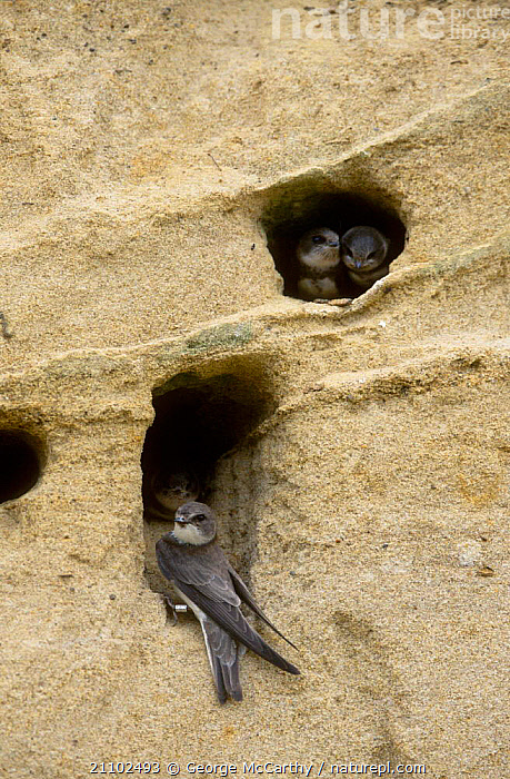 Sand martins in nest burrows {Riparia riparia} Hampshire UK, CLIFFS,GROUPS,BIRDS,EUROPE,BRITISH,NESTS,ENGLAND,BANKS,RIVERS,GEOLOGY,SWALLOWS, George McCarthy