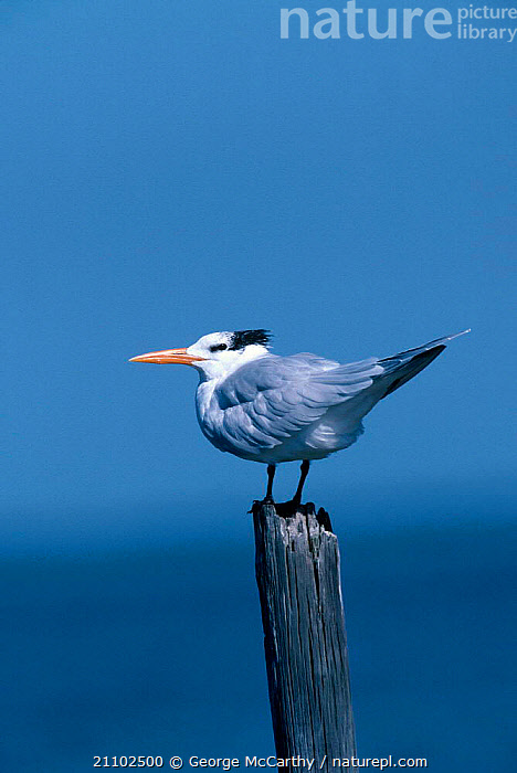 Royal tern {Sterna maxima} Everglades Florida USA, BIRDS,TERNS,RESERVE,NORTH AMERICA,SEABIRDS, George McCarthy