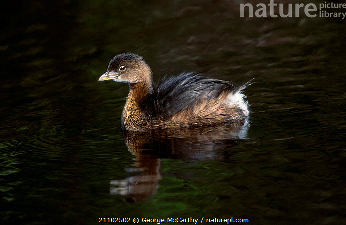Pied-billed grebe chick {Podilymbus podiceps} Everglades Florida USA, BIRDS,RESERVE,GREBES,NORTH AMERICA,WATERFOWL,JUVENILE, George McCarthy