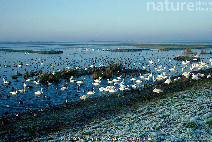 Mixed flocks of waterfowl on Ouse estuary. Welney WWT Norfolk UK, COASTS,SWAN,BRITISH,SWANS,RESERVE,LANDSCAPES,WILDLIFE,BIRDS,DUCKS,EUROPE,ESTUARY,ENGLAND, George McCarthy