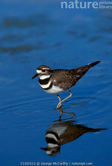 Killdeer plover {Charadrius vociferus} Everglades Florida USA, REFLECTIONS,NORTH AMERICA,BIRDS,RESERVE,WADERS, George McCarthy