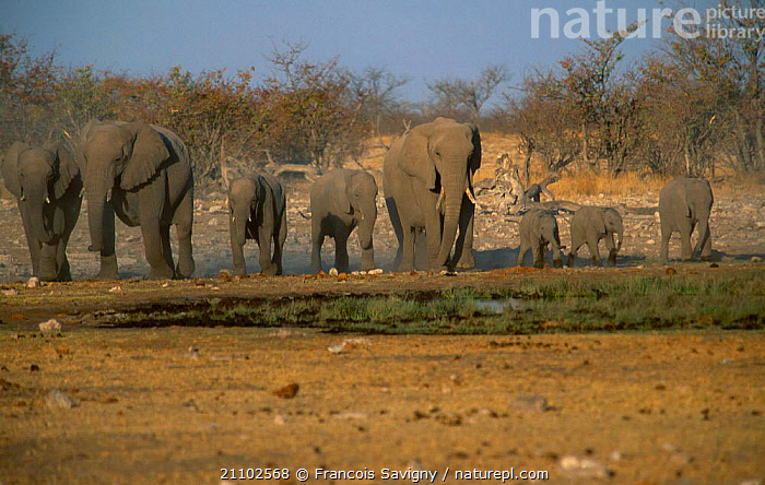 Family herd of African elephants {Loxodonta africana} Etosha NP Namibia, YOUNG,MAMMALS,NATIONAL,GROUPS,FAMILIES,AFRICA,RESERVE,SOUTHERN AFRICA,PARK,SOUTH,LANDSCAPES,ELEPHANTS, Francois Savigny