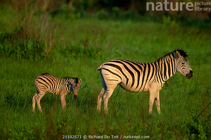Common zebra and foal {Equus burchelli} Hluhluwe Umfolozi Park South Africa, SOUTHERN AFRICA,TWO,ZEBRAS,FAMILIES,PROFILE,RESERVE,PERISSODACTYLA,MAMMALS,BURCHELLS,BABIES,JUVENILE,YOUNG,EQUINES, Richard Du Toit