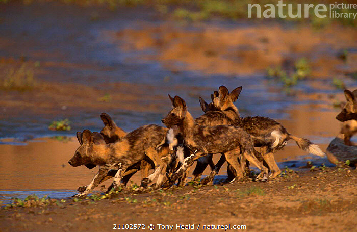 African wild dog puppies by water {Lycaon pictus} Mana Pools NP Zimbabwe, SOUTH,YOUNG,PARK,MAMMALS,SOUTHERN AFRICA,CARNIVORES,JUVENILE,DOGS,GROUPS,NATIONAL,CANIDS, Tony Heald