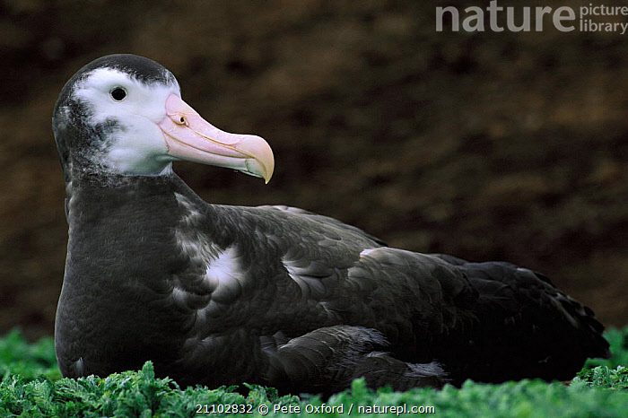 Wandering albatross juvenile {Diomedea exulans} Kerguelen Is, South Indian Ocean, BIRDS,MOULTING,SEABIRDS,INDIAN OCEAN ISLANDS,BIRD,ALBATROSSES, Pete Oxford