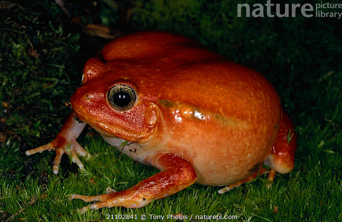 Tomato frog {Dyscophus antongilii} Madagascar, AMPHIBIANS,AMPHIBIAN,RED,COLOURFUL,NIGHT,FROGS,Anura, Tony Phelps