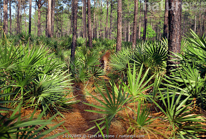 Florida panther amongst Palmetto {Felis concolor} Florida, USA, MAMMALS,PALMS,COUGAR,NORTH,HABITAT,WALKING,LION,MOUNTAIN,PALM,RESERVE,AMERICA,CARNIVORES, Lynn M Stone