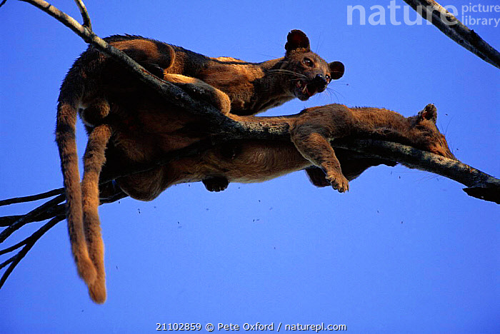 Fossas mating in tree {Cryptoprocta ferox} Western dry forest, Madagascar, COPULATION,PAIR,MALES,REPRODUCTION,FEMALES,MALE,TREES,CARNIVORES,MALE FEMALE PAIR,MAMMALS,BEHAVIOUR,CIVETS,FEMALE,KIRINDY,Plants, Pete Oxford