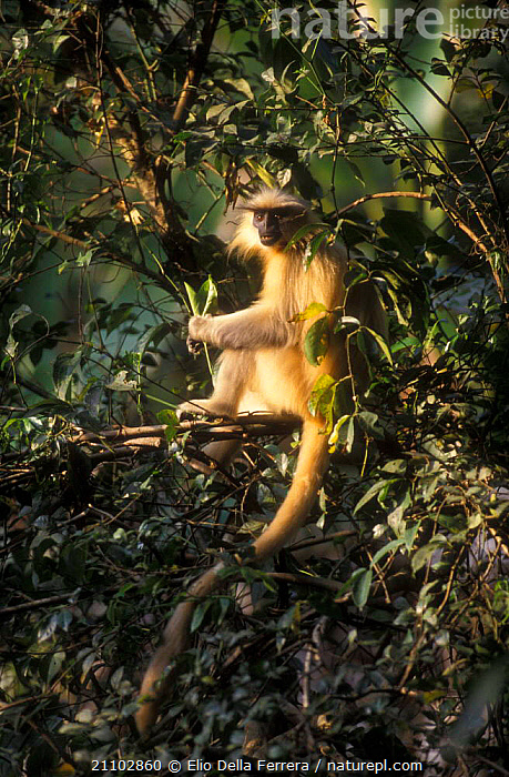 Golden langur feeding in tree {Presbytis geei} Assam, India, INDIAN SUBCONTINENT,LANGURS,PRIMATES,MAMMALS,TREES,LEAVES,EATING,ENDANGERED,Asia,Plants,Monkeys, Elio Della Ferrera