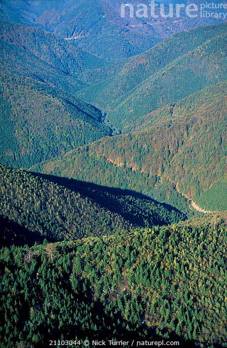 Aerial looking down onto mixed Beech forest Carpathian Mountains Romania 10/99, DECIDIOUS,TREES,VEGETATION,HIGHLANDS,WOODLANDS,DICOTYLEDONS,VALLEY,CANOPY,HABITAT,LANDSCAPES,PLANTS ,AERIALS,EUROPE, Nick Turner