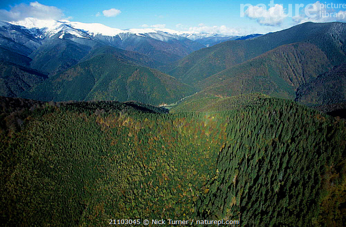 Aerial looking down onto mixed Beech forest Carpathian Mountains Romania 10/99, DECIDIOUS,LANDSCAPES,HABITAT,DICOTYLEDONS,HIGHLANDS,VEGETATION,CANOPY,VALLEY,WOODLANDS,TREES,PLANTS ,AERIALS,EUROPE, Nick Turner