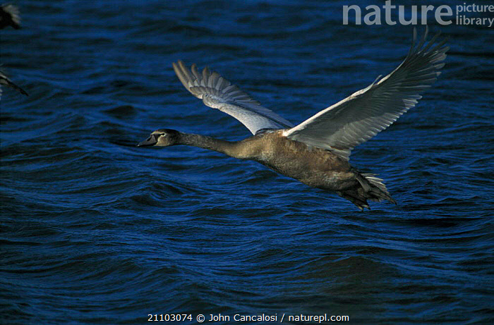 Whooper swan juvenile flying over water {Cygnus cygnus} UK, CYGNET,ENGLAND,FLIGHT,BIRD,BIRDS,SWANS,WATERFOWL,EUROPE,Wildfowl, Waterfowl, John Cancalosi