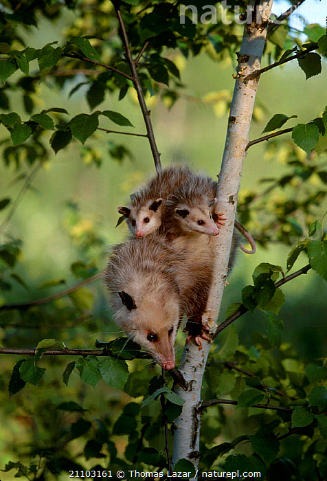 Common opossum with babies clinging to back {Didelphis marsupialis} Minnesota USA, MARSUPIALS,TREES,CUTE,BABY,MAMMALS,YOUNG,MOTHER,RIVERS,FAMILIES,NORTH AMERICA,INFANT,JUVENILE,PLANTS, Thomas Lazar