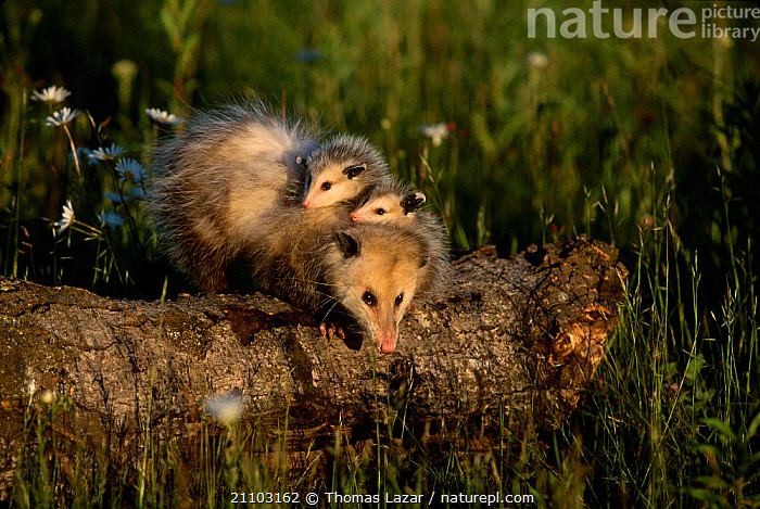 Common opossum with babies clinging to back {Didelphis marsupialis} Minnesota USA, CUTE,MOTHER,FAMILIES,MAMMALS,AMERICA,KETTLE,JUVENILE,FEMALES,INFANT,SPRING,BABY,RIVERS,YOUNG,HOLDING,MARSUPIALS,NORTH AMERICA, Thomas Lazar