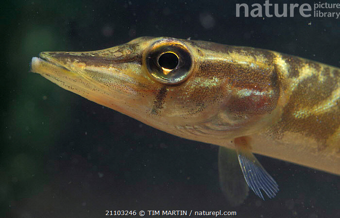 Immature Pike head profile {Esoz lucius} England, BRITISH,ESOZ,EUROPEAN,HEADS,UNDERWATER,EUROPE,AQUATIC,JUVENILE,UK,YOUNG,FISH,FRY,FRESHWATER,United Kingdom, United Kingdom, United Kingdom, United Kingdom, TIM MARTIN