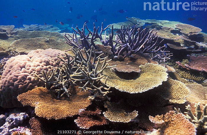 Coral reef landscape with mainly {Acropora} corals Great Barrier Reef Australia, MARINE,MIXED SPECIES,INVERTEBRATES,FISH,BLUE PLANET,UNDERWATER,ACROPORA,CORAL REEFS,ANTHOZOANS, CNIDARIA, Georgette Douwma