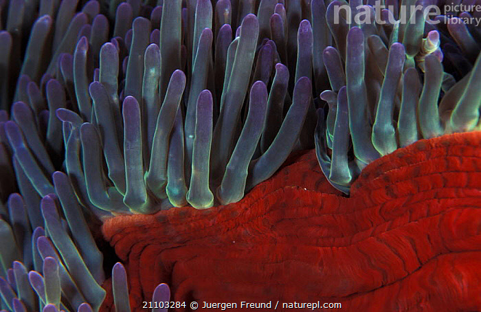 Tentacles of Magnificent anemone {Heteractis magnifica} Indo Pacific, ANEMONES,INVERTEBRATES,MACRO SHOTS,ABSTRACT,ASCHELMINTHS,CLOSE UPS,OCEAN,TROPICAL,SEA,AQUATIC,INDO PACIFIC,CRYPTIC,MARINE,UNDERWATER, Jurgen Freund