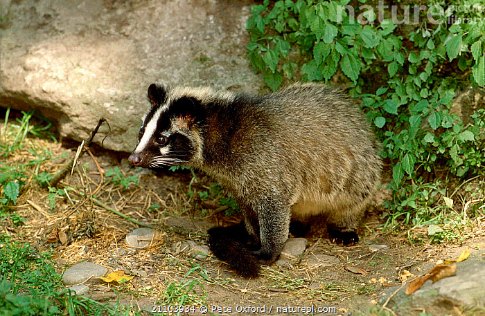 Masked palm civet (Paguma larvata) thought to be connected to SARS virus.  Sichuan Province, China., CARNIVORES,CIVETS,MAMMALS,ASIA,HIMALAYAN,GENETS, Pete Oxford