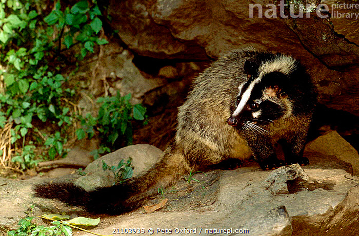 Masked palm civet (Paguma larvata) thought to be connected to SARS virus.  Sichuan Province, China., HIMALAYAN,MAMMALS,CIVETS,ASIA,CARNIVORES,GENETS, Pete Oxford