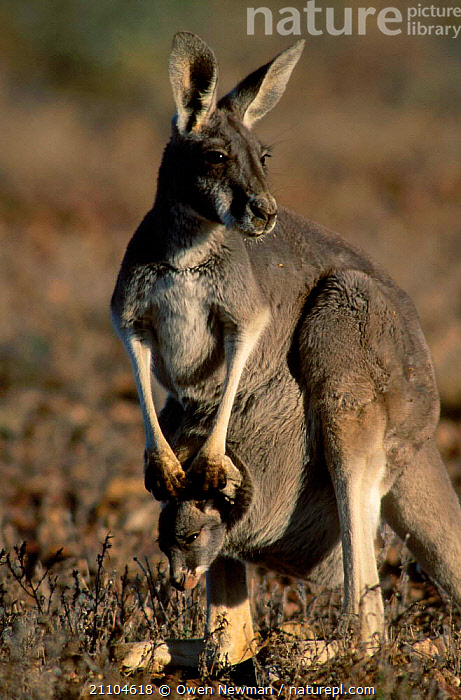 Female Red kangaroo with joey in pouch {Macropus rufus} Sturt NP New South Wales Australia, BABY,KANGAROOS,MOTHER,NATIONAL,MAMMALS,MARSUPIALS,JUVENILE,YOUNG,FEMALES,NEW SOUTH WALES,PARK,RESERVE,CARRYING, Owen Newman