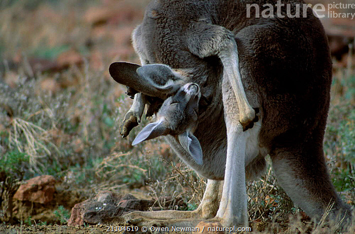 Female Red kangaroo ting to joey in pouch {Macropus rufus} Sturt NP NSW Australia, FEMALES,CARING,MAMMALS,CARRYING,PARK,RESERVE,NATIONAL,MARSUPIALS,HEADS,KANGAROOS,MATERNAL,NEW SOUTH WALES, Owen Newman