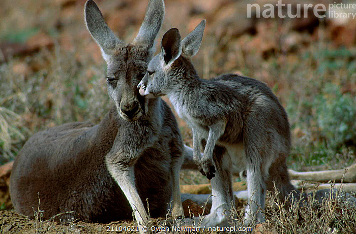 Young joey out of pouch next to female Red kangaroo {Macropus rufus} Sturt NP NSW Australia, PARK,BABY,MAMMALS,FEMALES,MOTHER,OUTBACK,KANGAROOS,NEW SOUTH WALES,CUTE,NATIONAL,FAMILIES,RESERVE,MARSUPIALS,JUVENILE, Owen Newman