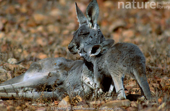 Young joey out of pouch next to female Red kangaroo {Macropus rufus} Sturt NP NSW Australia, MAMMALS,FAMILIES,RESERVE,KANGAROOS,JUVENILE,BABY,NEW SOUTH WALES,OUTBACK,CUTE,FEMALES,MOTHER,PARK,MARSUPIALS,NATIONAL, Owen Newman