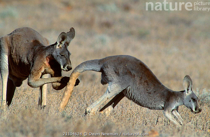 Male Red kangaroo testing to see if female is in oestrus {Macropus rufus} Sturt NP NSW, INTERACTION,MALES,PAIR,PARK,REPRODUCTION,RESERVE,OUTBACK,NATIONAL,AUSTRALIA,NEW SOUTH WALES,MALE FEMALE PAIR,RESPONSIVE,MAMMALS,TWO,BEHAVIOUR,FEMALES,KANGAROOS,MATING BEHAVIOUR, Owen Newman