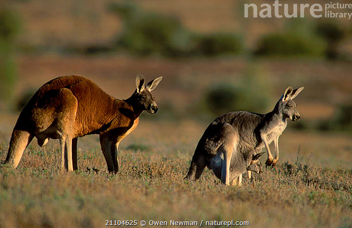 Male Red kangaroo behind female with joey {Macropus rufus} Sturt NP NSW Australia, FEMALES,PARK,RESERVE,MAMMALS,NATIONAL,NEW SOUTH WALES,FAMILIES,MALES,CARRYING,KANGAROOS,GROUPS,JUVENILE,MALE FEMALE PAIR,YOUNG,MARSUPIALS,OUTBACK, Owen Newman