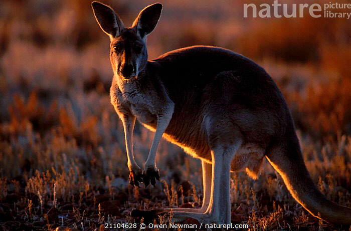 Female Red kangaroo backlit at sunset {Macropus rufus} Sturt NP New South Wales Australia, DUSK,PORTRAITS,PARK,FEMALES,RESERVE,KANGAROOS,EVENING,NATIONAL,NEW SOUTH WALES,OUTBACK,MAMMALS,ATMOSPHERIC,MARSUPIALS,Catalogue1, Owen Newman
