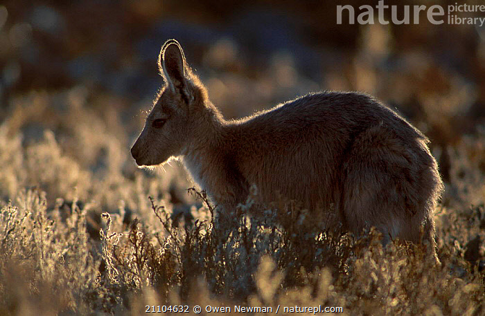 Female Red kangaroo backlit in evening {Macropus rufus} Sturt NP New South Wales Australia, NATIONAL,MARSUPIALS,SUNLIGHT,DUSK,FEMALES,KANGAROOS,MAMMALS,OUTBACK,RESERVE,PARK,NEW SOUTH WALES, Owen Newman