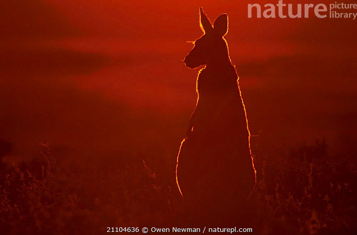 Female red kangaroo backlit in evening sun {Macropus rufus} Sturt NP NSW Australia, DUSK,NEW SOUTH WALES,WARM,KANGAROOS,OUTBACK,SUNLIGHT,SUNSET,ATMOSPHERIC,MAMMALS,MARSUPIALS,Catalogue1, Owen Newman