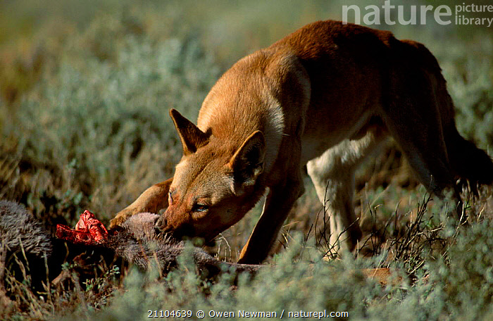 Dingo feeding on kangaroo {Canis dingo} Sturt NP New South Wales Australia, PARK,RESERVE,CARNIVORES,CANIDS,DOGS,MEAT,MAMMALS,OUTBACK,NEW SOUTH WALES,CANIDS,MARSUPIALS,NATIONAL, Owen Newman