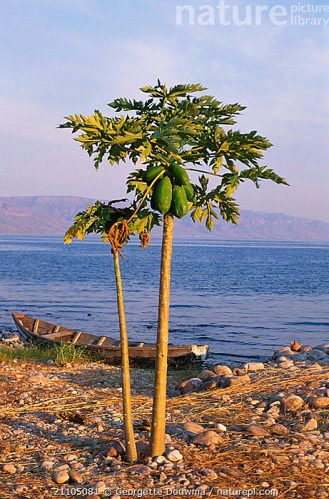 Lake Tanganyika at sunset with boat and papaya tree Zambia Southern Africa, LAKES,LANDSCAPES,SHORELINE,TREES,SOUTHERN AFRICA,BOATS,PEACEFUL,WATER,CONCEPTS,PLANTS, Georgette Douwma