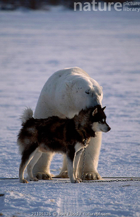 Polar bear {Ursus maritimus} with Husky dog. Canada, CARNIVORES,ARCTIC,SNOW,TWO,BEARS,DOGS,FRIENDSHIP,DOGS,MIXED SPECIES,UNUSUAL,MAMMALS,DOMESTIC,ICE,CONCEPTS , PETS, Sue Flood