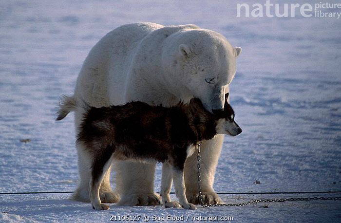 Polar bear {Ursus maritimus} with Husky dog. Canada, TWO,DOGS,ARCTIC,UNUSUAL,ICE,SNIFFING,FRIENDSHIP,SNOW,MAMMALS,DOGS,MIXED SPECIES,DOMESTIC,BEARS,CARNIVORES,CONCEPTS, Sue Flood