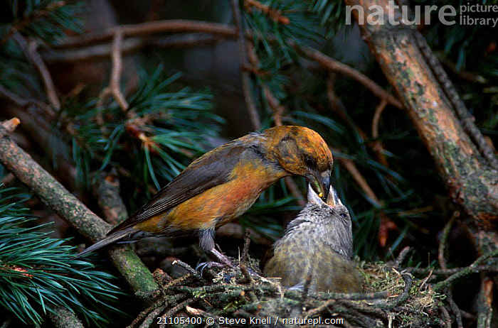 Male Red crossbill feeding female at nest {Loxia curvirostra} England UK, PASSERINES,NESTS,MALE FEMALE PAIR,CROSSBILLS,EUROPE,NESTING BEHAVIOUR,BIRDS,REPRODUCTION, STEVE KNELL