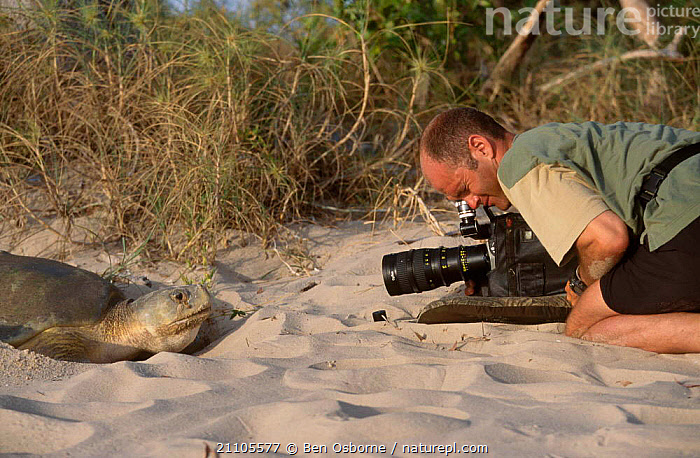 Simon King filming Flat back turtle laying eggs on beach. Crab Is Queensland Australia, BEACHES,COASTS,QLD,BEACHES,REPTILES,BLUE PLANET,ENDANGERED,CAMERA,PEOPLE,COAST,REPTILES, Ben Osborne