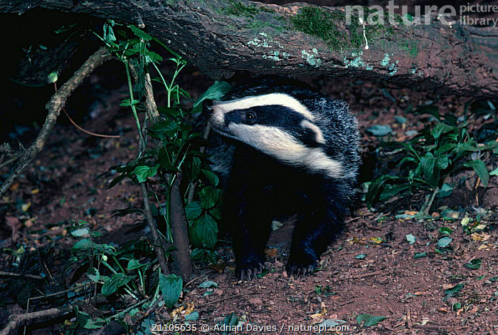 Badger {Meles meles} England, BADGERS,CARNIVORES,MAMMALS,UK,Europe,United Kingdom,British,Mustelids, Adrian Davies