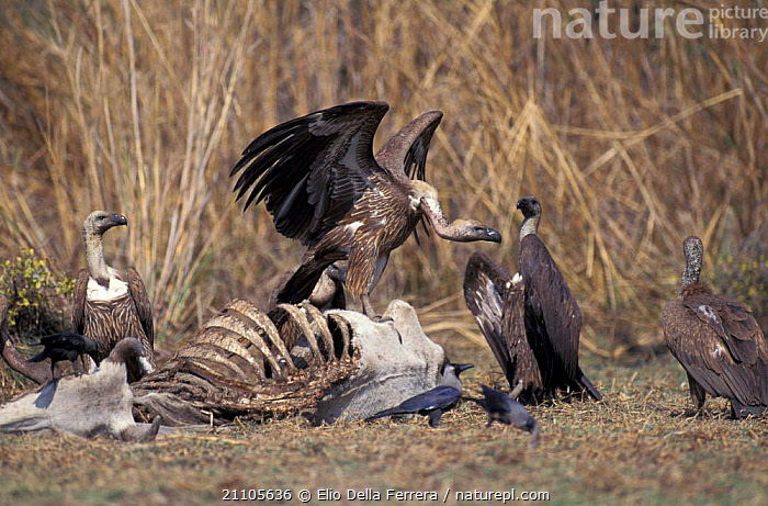 Indian white backed vulture juveniles feed on cattle {Gyps bengalensis} Thar desert, India, FEEDING,LIVESTOCK,BIRDS,SCAVENGING,DESERTS,FLOCKS,INDIAN SUBCONTINENT,VULTURES,GROUPS,BIRD,FLOCK,DEATH,Asia, Elio Della Ferrera
