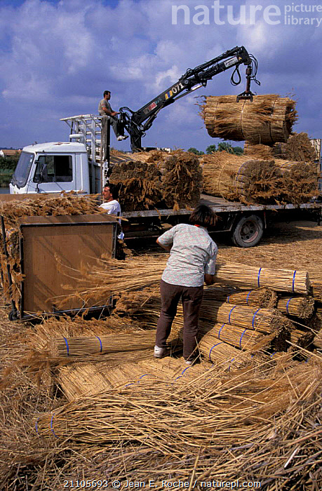 Loading harvested reeds onto lorry Camargue France, HARVESTING,LANDSCAPES,PLANTS,PEOPLE,CROPS,VEHICLES,Europe, Jean E. Roche