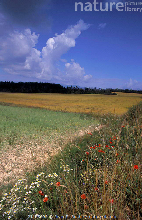 Wild flowers on edge of cultivated field Provence France, CROPS,LANDSCAPES,AGRICULTURE,BARONNIES,PLANTS,SUMMER,WILDFLOWERS,Europe, Jean E. Roche
