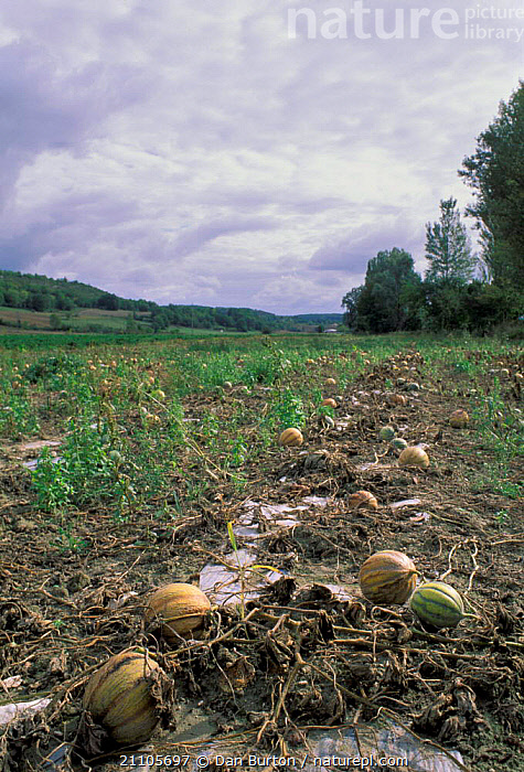 Field of Melons ready for harvest Toulouse France., FRUIT,CROPS,PLANTS,EDIBLE,AGRICULTURE,LANDSCAPES,Europe, Dan Burton