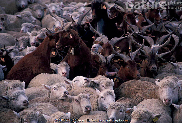 Large mixed flock of sheep and goats Istres Crau France, MAMMALS,MIXED SPECIES,ARTIODACTYLA,FLOCKS,LIVESTOCK,GROUPS,LANDSCAPES,Europe, Jean E. Roche