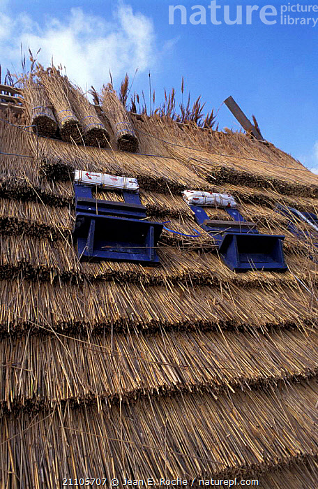 Reeds used for thatch roofing Camargue France, PEOPLE,ROOF,LANDSCAPES,CROPS,BUILDINGS,PLANTS,Europe, Jean E. Roche