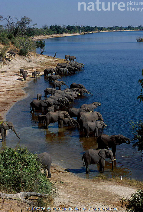 African elephant herd at water {Loxodonta africana} Chobe NP Botswana, MAMMALS,DRINKING,PROBOSCIDS,SOUTHERN AFRICA,RIVERS,GROUPS,ELEPHANTS,LAKES,LANDSCAPES,AFRICA, Patricio Robles Gil