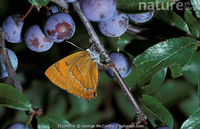 Brown hairstreak butterfly female ovipositing {Thecla betulae} Hampshire UK, BEHAVIOUR,ENGLAND,FRUIT,FEMALES,INVERTEBRATES,BUTTERFLIES,EUROPE,SLOE,EGGS,INSECTS,MATING BEHAVIOUR,REPRODUCTION,PLANTS,LEPIDOPTERA, George McCarthy